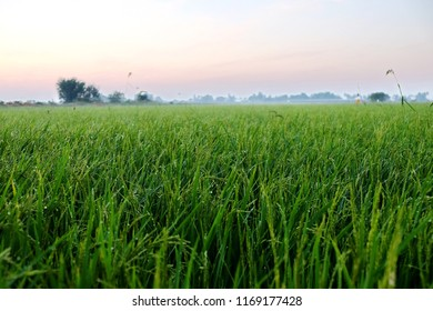 Macro, Drops of water on rice after rain,rice field in glow in morning at sunrise.