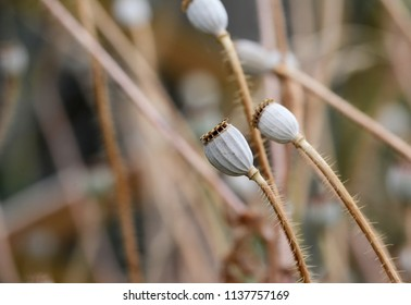 Macro of dry poppy seed heads, against a blurred background of more seed pods