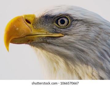 Macro Eagle Face