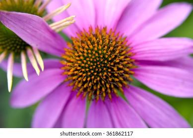 Macro of echinacea flower