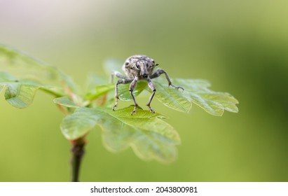 Macro enface portrait of Lixus iridis (long snouted weevil beetle) sitting on oak twig over green forest background