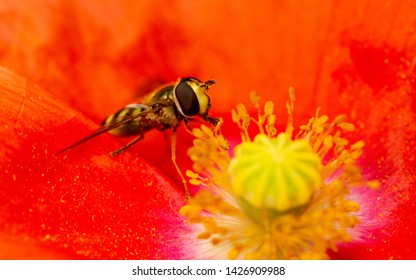 Macro of Episyrphus balteatus, the marmalade hoverfly licking the red poppy stamen