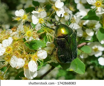 Macro European rose chafer (Cetonia aurata) or green rose chafer insect on plant in garden pollinating vegetation, in summer