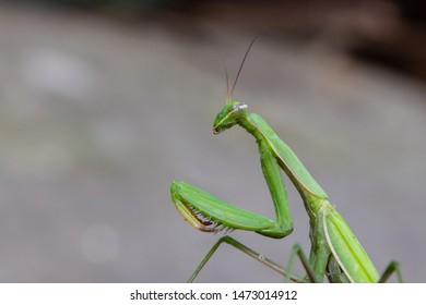 Macro of Female European Mantis or Praying Mantis, Mantis Religiosa. Green praying mantis. It sits on colored wild flowers