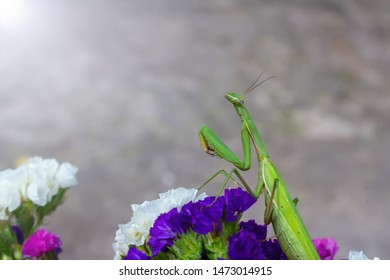 Macro of Female European Mantis or Praying Mantis, Mantis Religiosa. Green praying mantis. It sits on colored wild flowers. Copy space for your text