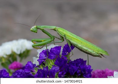 Macro of Female European Mantis or Praying Mantis, Mantis Religiosa. Green praying mantis. It looking at the camera and sits on colored wild flowers