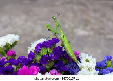 Macro of Female European Mantis or Praying Mantis, Mantis Religiosa. Green praying mantis. It looking up sits on colored wild flowers
