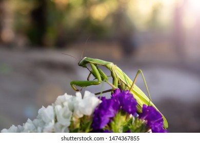 Macro of Female European Mantis or Praying Mantis, Mantis Religiosa. Green praying mantis. It cleans the paws and sits on colored wild flowers