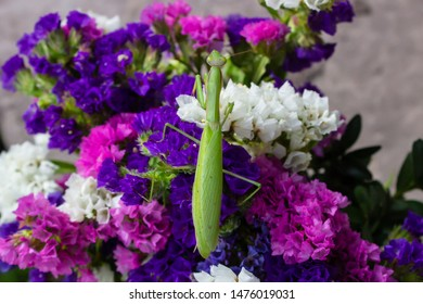 Macro of Female European Mantis or Praying Mantis, Mantis Religiosa. Green praying mantis. It sits on colored wild flowers, view from above