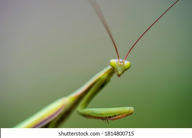 Macro of female european mantis or praying mantis, mantis religiosa. Green praying mantis, close up