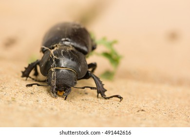 Macro of a female stag beetle