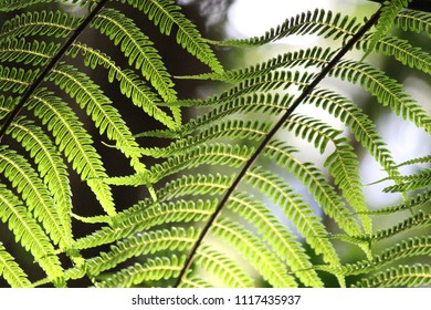 Macro Fern tree leaves with soft focus background, fern leaves close up in rainforest, Australian rainforest