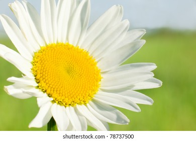 Macro of a fine camomile on summer meadow