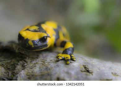 Macro of fire salamander, one of Europe's largest salamander
