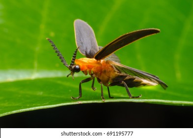 Macro firefly