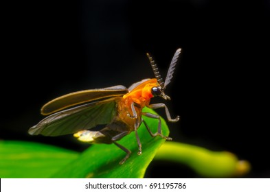 Firefly Draw Stock Photos Images Photography Shutterstock