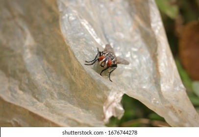 Macro of Flesh Fly Sitting on Plastic with Copy Space for Texts Writing