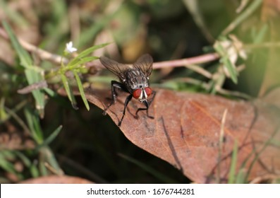 Macro of Flesh Fly Sitting on Dry Leaf