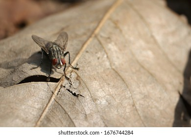Macro of Flesh Fly Sitting on Dried Leaf with Copy Space for Texts Writing
