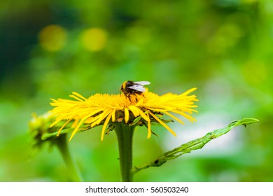macro from a flower with a bumblebee
