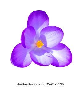 Macro flower crocus isolated on white background