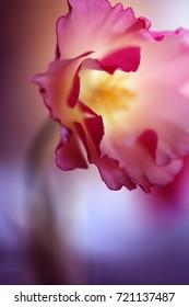 Macro flower, fine art. Pink cosmo.