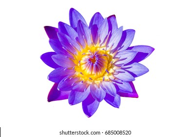 Macro flower picture of beautiful purple lotus on the pond with yellow pollen or close up colorful water lily with scientist named Nymphaeaceae (hybrid) isolated on white background