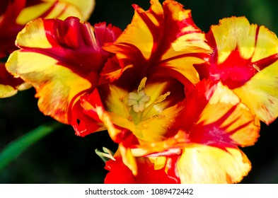 Macro flower, tulip's head in yellow and red strips on black blurred background