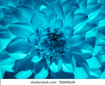 Macro  flower   turquoise  dahlia.  Background from a flower. Closeup.  Nature.