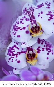 macro flower - White orchids (Orchidaceae) with purple spots