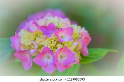Macro of a flowering hydrangea, a popolar garden flower world wide