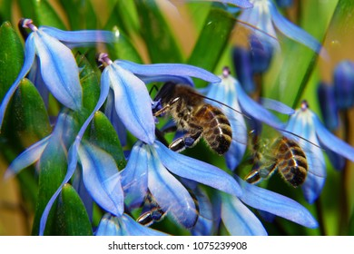 Macro of fluffy bee Apis mellifera with blue pollen on the legs collecting nectar in a blue flower cowslip Scilla in a fivefold reflection in foothills of the Caucasus