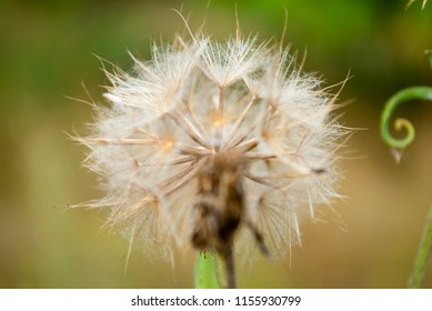 Macro fluffy blowball flower. Goat's-beard like big white dandelion seed head. Summer herb. Jack-go-to-bed-at-noon on green blurred background. Meadow salsify, showy goat's-beard. Tragopogon pratensis