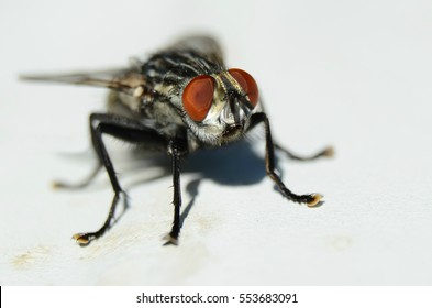 Macro of a fly insect on a white background