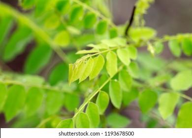 Macro focus leaf Averrhoa bilimbi tree family OXALIDACEAE