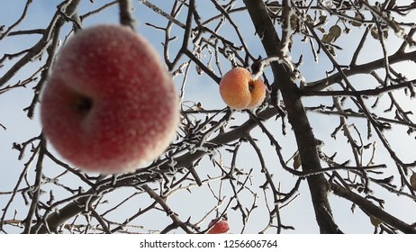 Macro of frozen wild apples covered with hoarfrost. Frozen apples in early winter. A branch of apple tree with fruit under hoarfrost