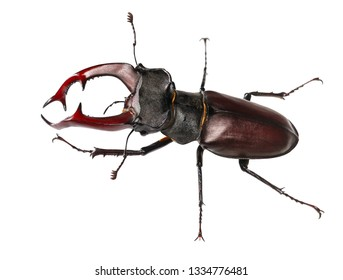 Macro full length view of big Stag Beetle (Lucanus cervus) with red antlers or mandibles isolated over white