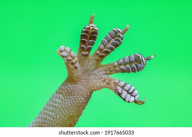 macro gecko hand showing details of finger structures