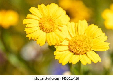 Macro of a golden marguerite - Cota tinctoria