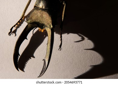Macro golden stag beetle Cyclommatus metallifer finae with shadow on white background