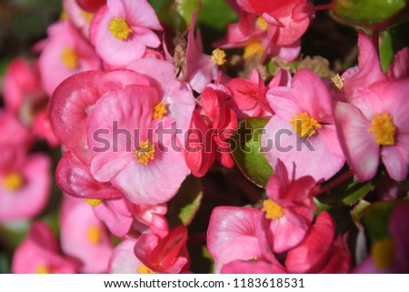Macro of gradated pink begonia flowers with yellow stamens and green leaves.