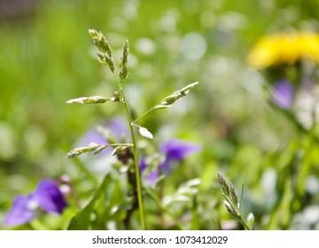 Macro Grass Seeds