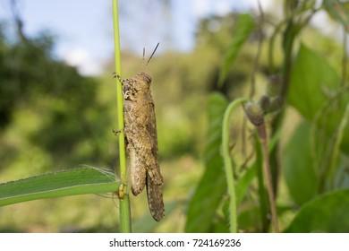Macro Grasshopper Island on leaf On a clear day