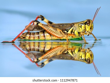 Macro of grasshopper in the water on a blue background