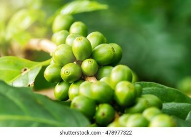 Macro of green coffee berries growing on its tree