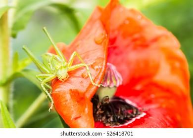 Macro of a green grasshopper sitting on a red poppy flower