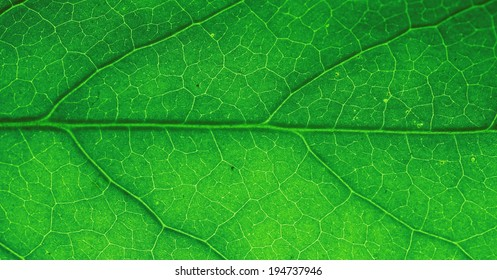 Macro of green leaf with veins highlighted