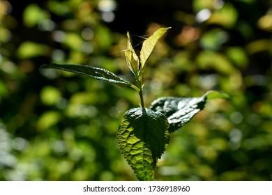 Macro de hojas verdes de una ortiga en el jardín, iluminadas por los rayos del sol.