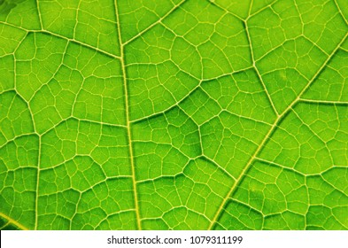 Macro of green leaves texture and structure of leaf fiber, Background texture by detail of green leaf.