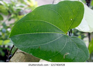 Macro of Green natural leaf of white yam (Dioscorea alata L.)growing on its stem, India, Odisha.common names include greater yam, Guyana arrowroot, ten-months or water yam, purple or winged yam.